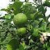 Kaffir Lime Leaves for medicinal treatment