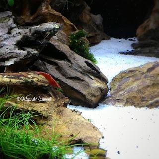 red shrimp aquascape