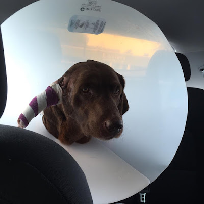 18underoneroof : dog surgery   poor duke