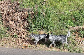 Puriscal dogs