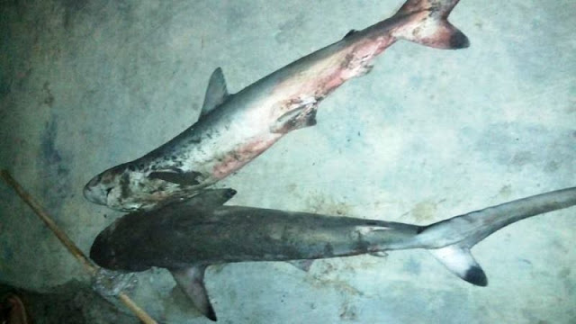 Pertama Kali Makan Daging Ikan Hiu, Salah Mengolahnya Berakibat Seminggu Perutnya Mual