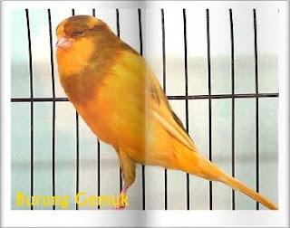 Cara mengatasi kegemukan pada burung kenari