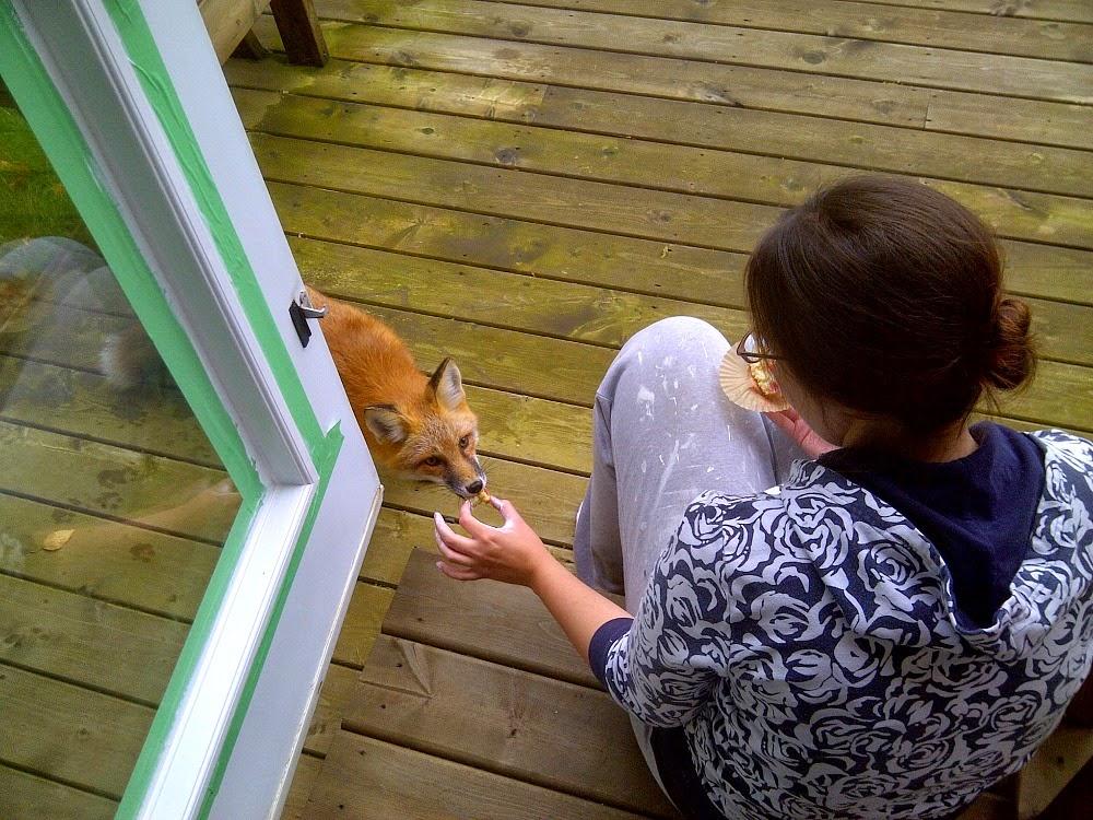 Feeding foxes