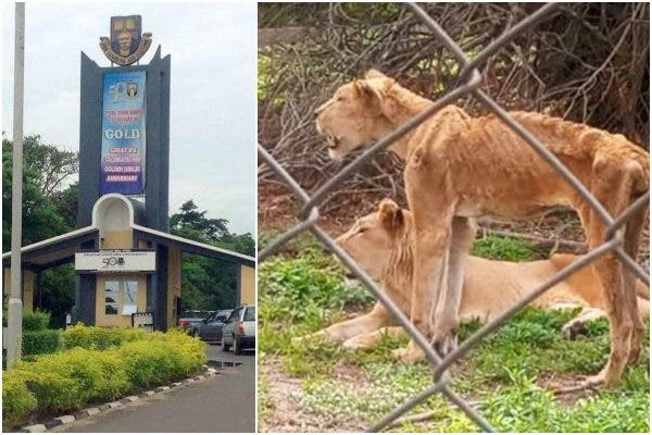 See the Photos of the Starving Lion in OAU (Photos)