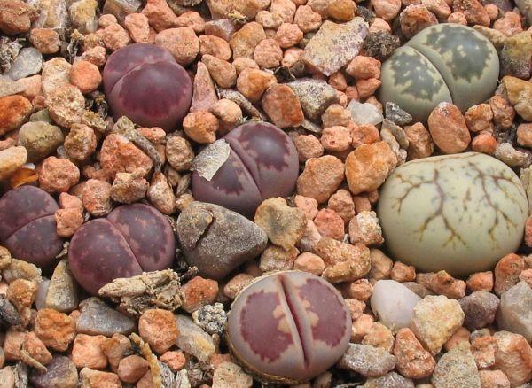 """Οι ζωντανές """"πέτρες"""" που ανθίζουν!"""