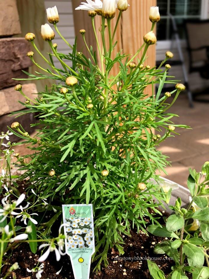 Margarite Daisy flower
