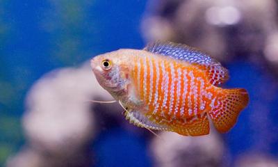 Ikan Gurame Mini