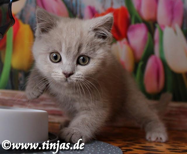 Katzenbaby Britisch Kurzhaar lilac weiblich 2017 05 10 6