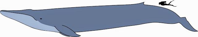Baleia azul - comparativo tamanho