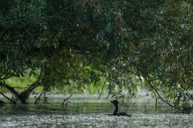 Pui de cormoran, Colonia Trofilca