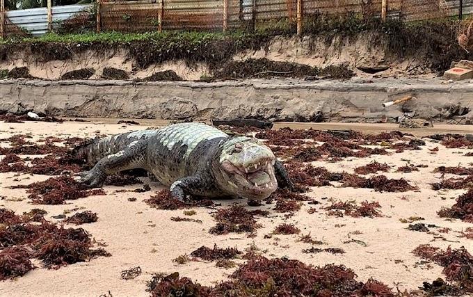 Jacaré é encontrado morto na praia da Penha, na Paraíba