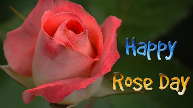 White-and-pink-rose-wallpaper