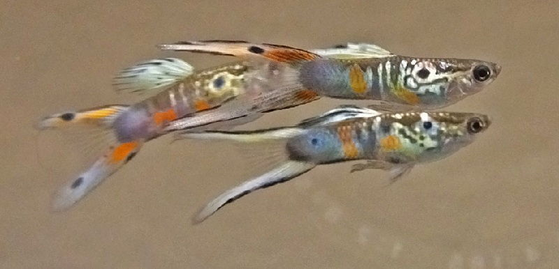 Foto Dan Gambar Ikan Guppy Double Swordtail