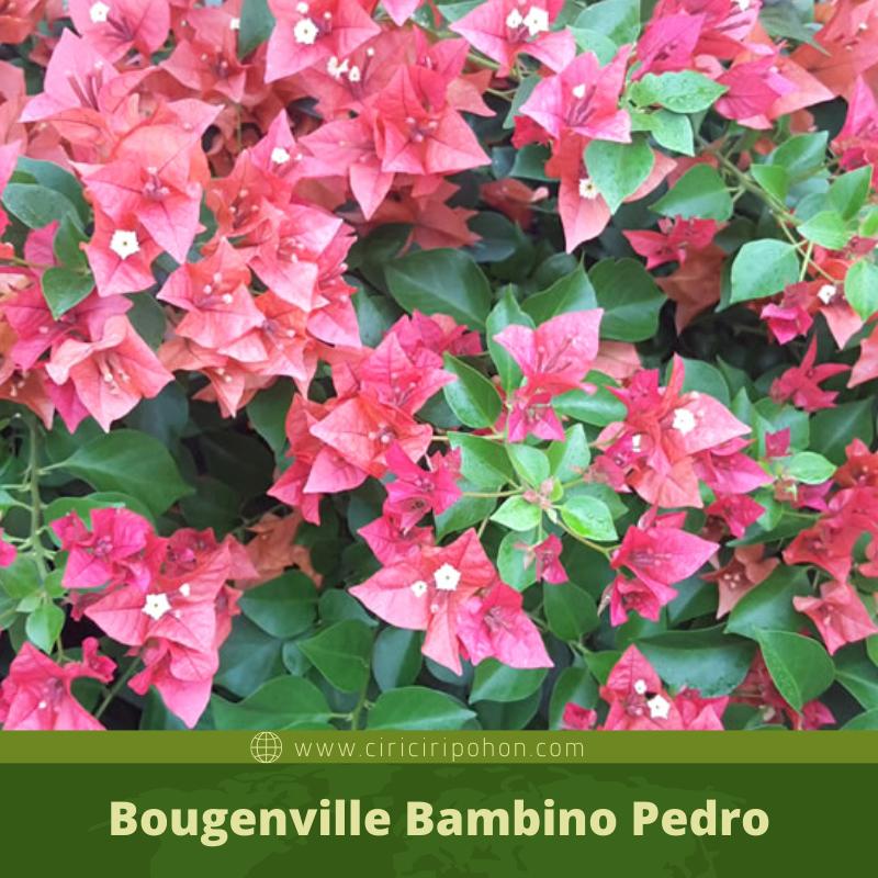 Bougenville Bambino Pedro