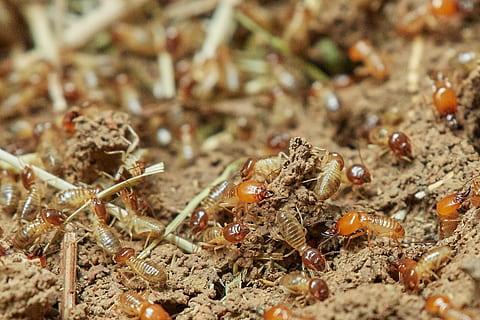 تلال النمل الابيض تكشف عن معجزة في هندسة البناء