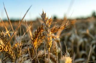 Grain Harbest - Photo by Frank Albrecht on Unsplash