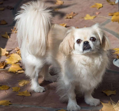 toy dog breeds, toy breeds