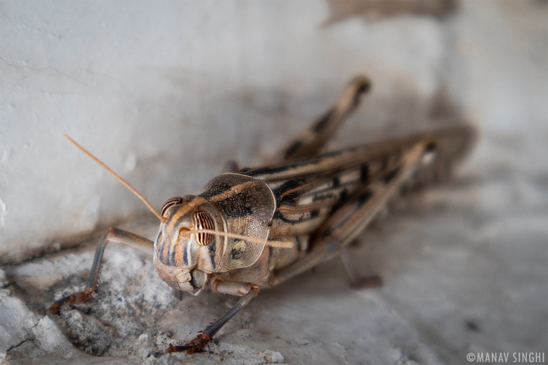 Locust Tiddi Attack in Jaipur Rajasthan