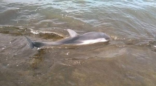 dolphins in vlora shore