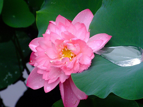 Beauty Flower Beautiful Lotus Flowers Wallpapers Photos