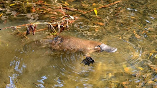 The Ministry of Truth division of the secular science industry is blowing smoke, saying the platypus genome supports Darwinism. They refute themselves.