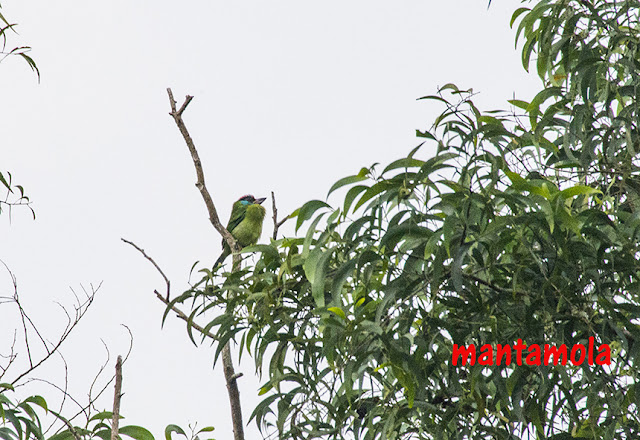 Blue Throated barbet(Megalaima asiatica)