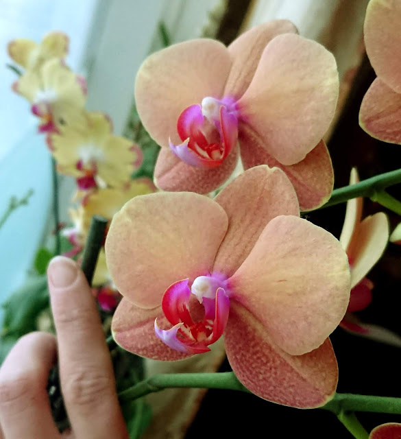 Phalaenopsis 'Surf Song'