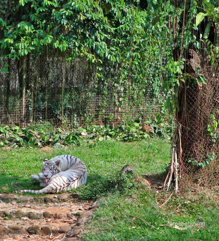 harimau benggala kebun binatang ragunan jakarta