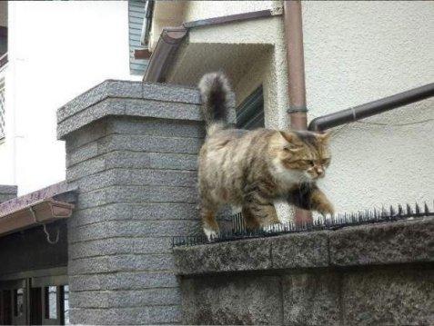 Ερωτευμένος γάτος περπατάει σε καρφιά για να δει το ταίρι του (εικόνες)