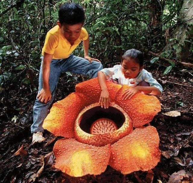 ලොව විශාලතම පුෂ්පය 🌻(The Largest Flower In The World) - Your Choice Way