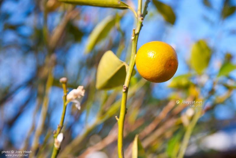 金桔 員農種苗芬園花卉生產休憩園區 櫻花