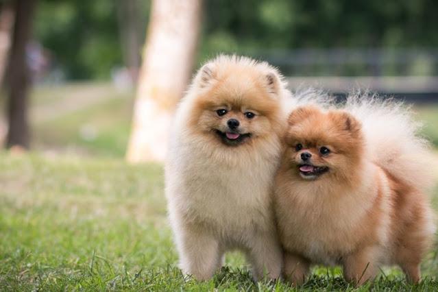 Ciri ciri Anjing Pomeranian