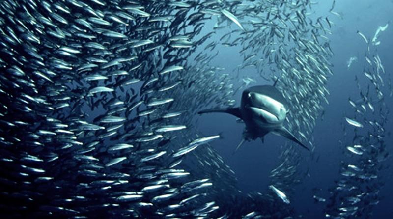 Tubarão nadando ao lado de um cardume de sardinhas