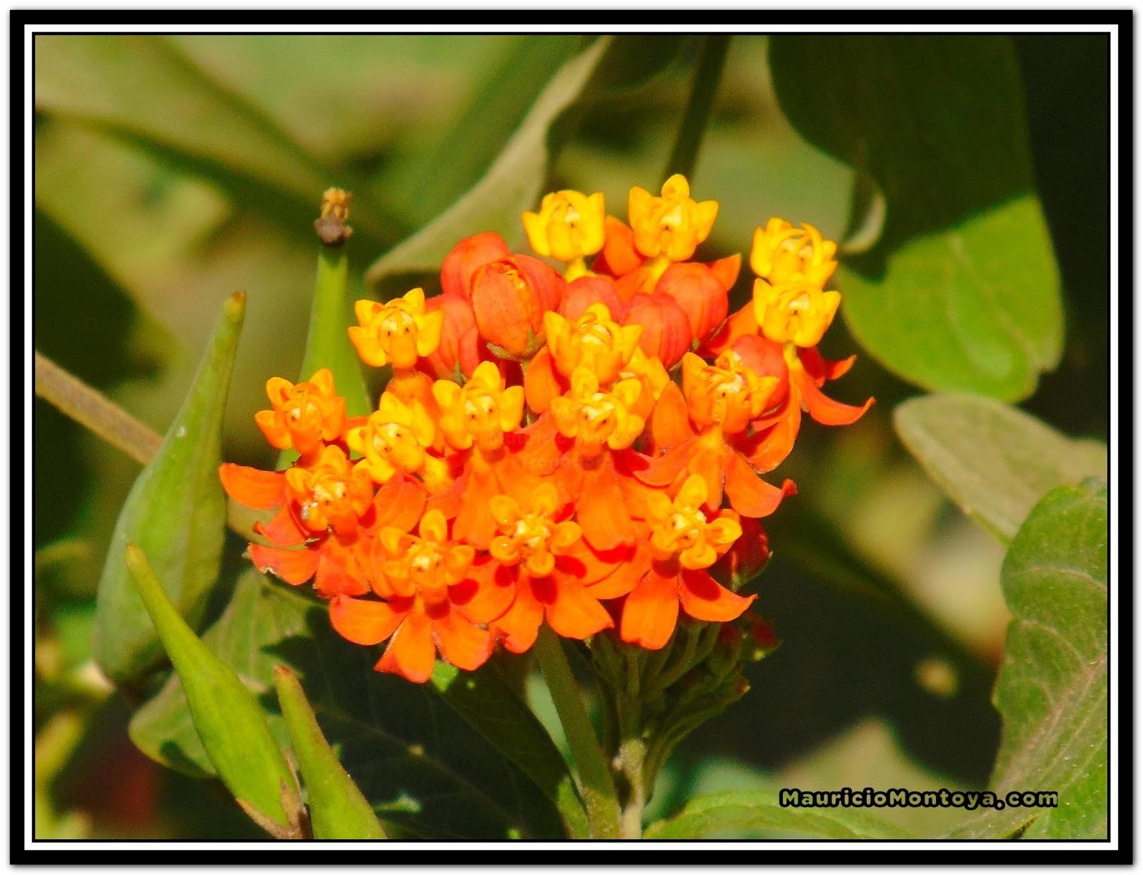 Flores De Vivoriana - Tilarán Guanacaste