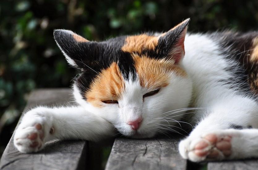 fakta unik kucing persia tisur di pinggir jalan