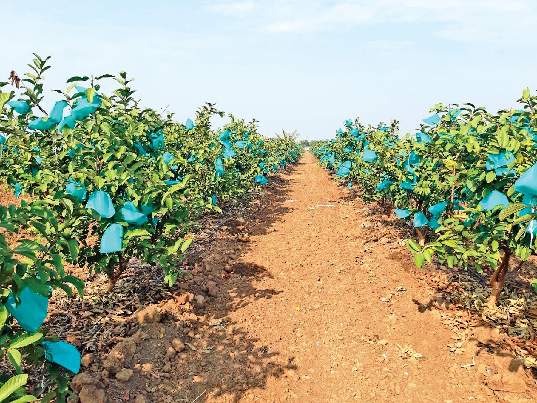 જામફળની ખેતીમાં સફળ ખેડૂત