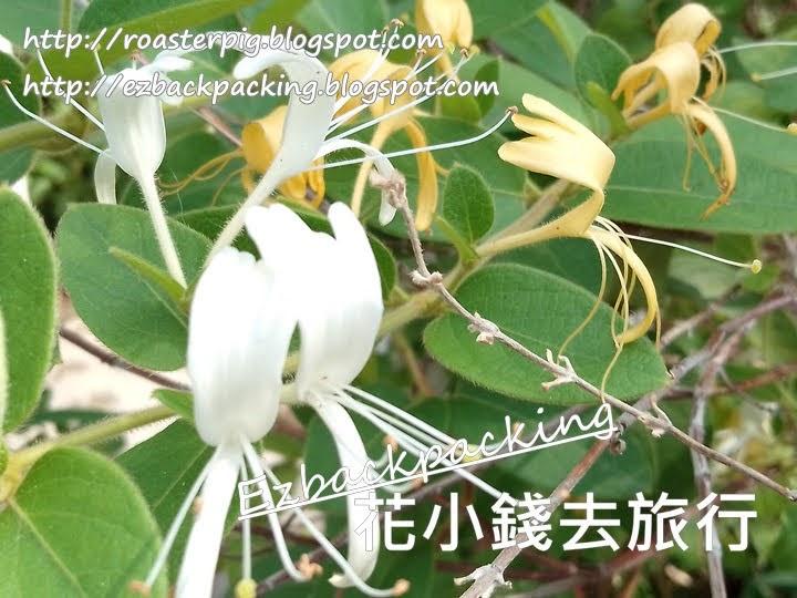 香港金銀花
