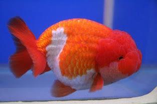 5 Jenis Penyakit Ikan Mas Koki