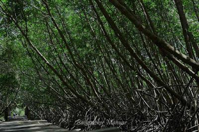 Hutan Mangrove Taman Hutan Raya Ngurah Rai Bali - Backpacker Manyar