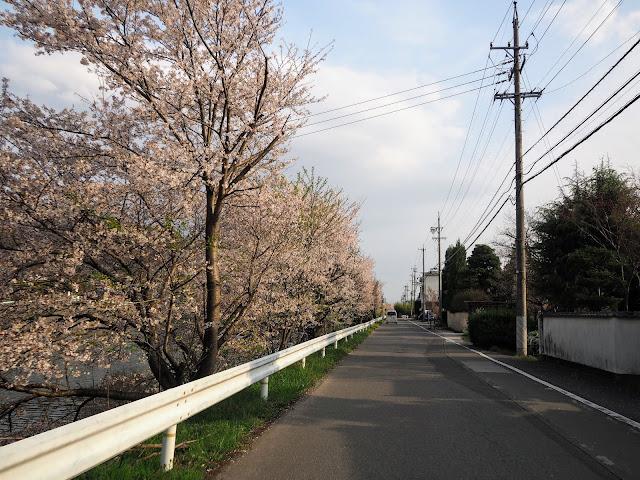 松本 奈良井川 桜