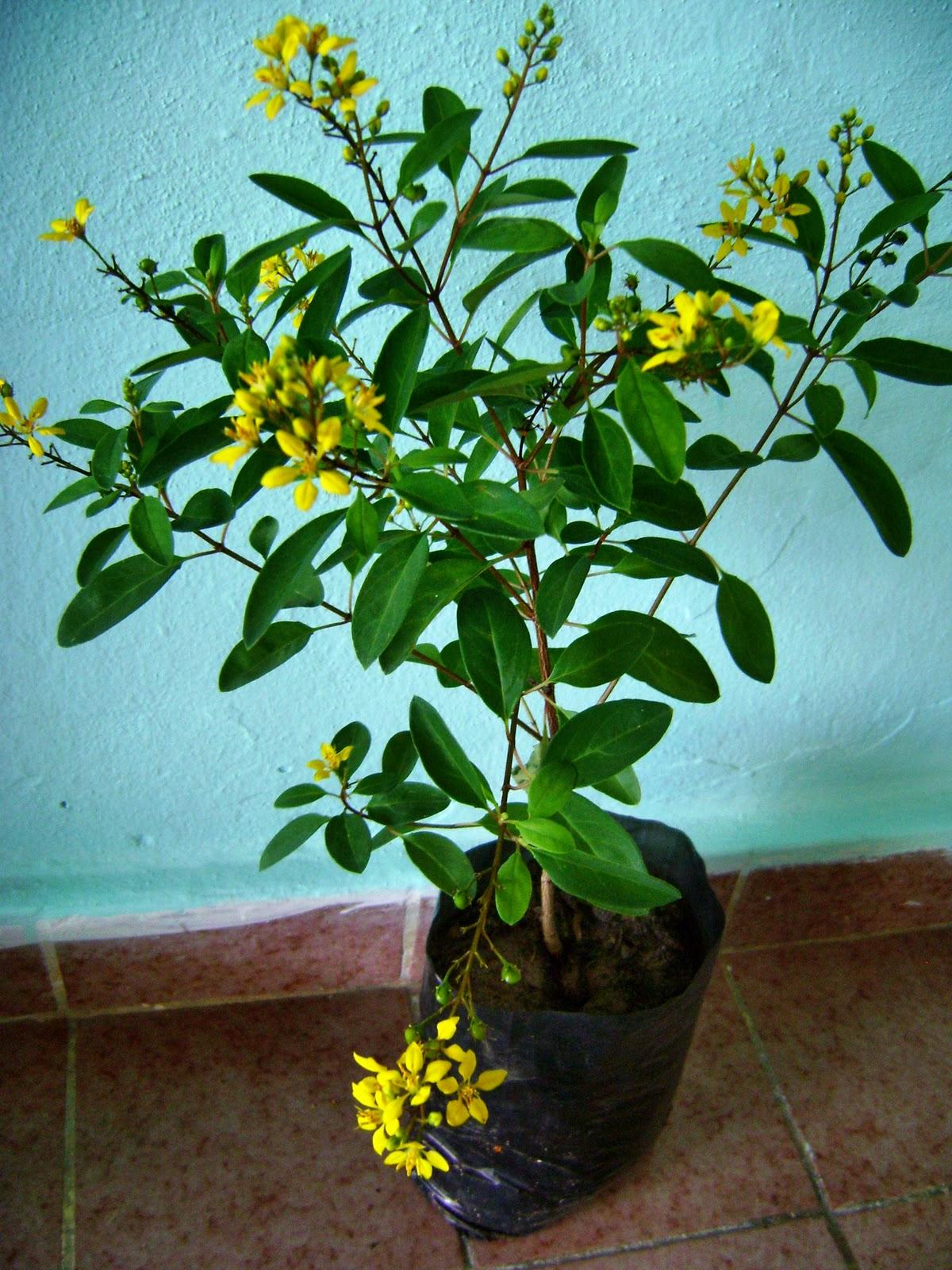 Pitangas: Mudas de Plantas Ornamentais