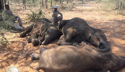 Bangkai gajah akibat perburuan liar