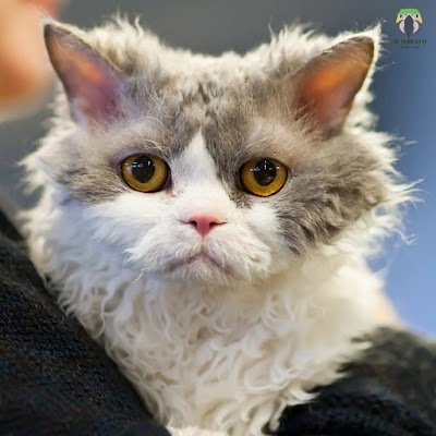Selkirk Rex, behavior, characteristics and care