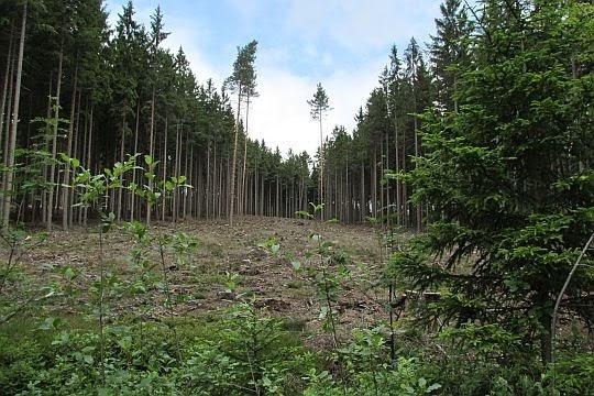 Las na Anielskiej Górze.
