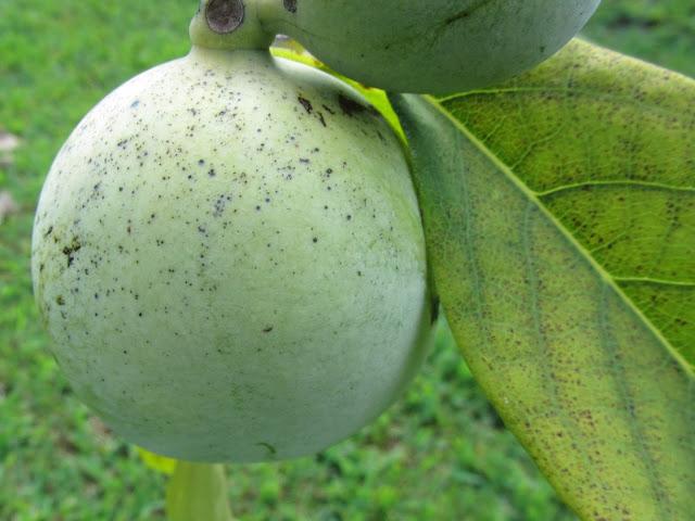 Frutto in Agosto Asimina triloba