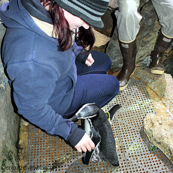 Magellanic penguin standing next to a young woman