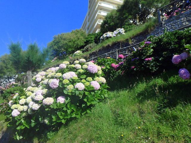 hydrangeas in Biarritz