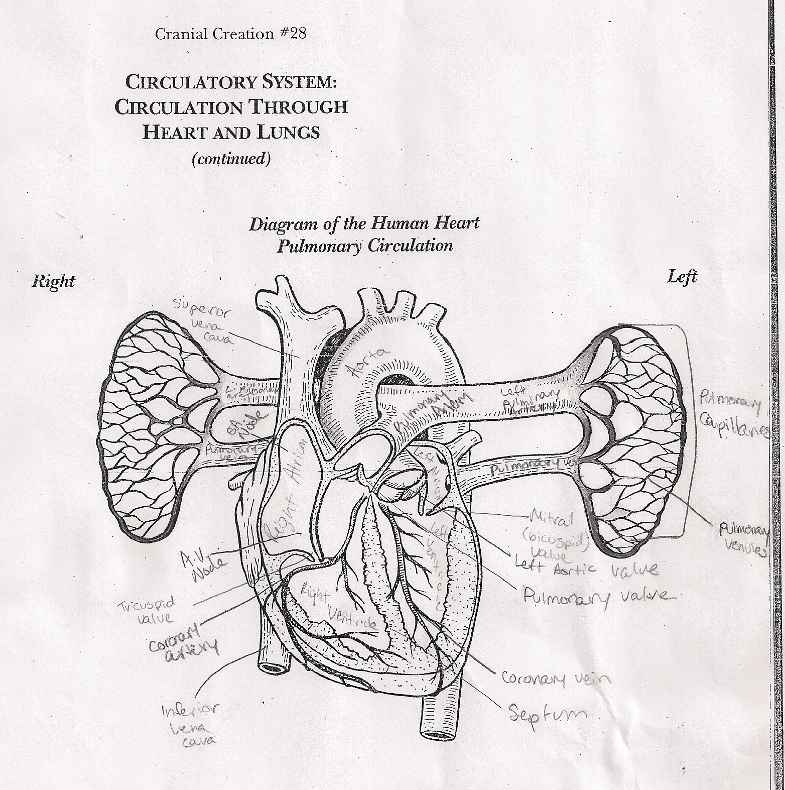 Anatomy and physiology its going tibia okay heart anatomy before we began the dissection we filled out a heart diagram to become familiarized with heart anatomy ccuart Images