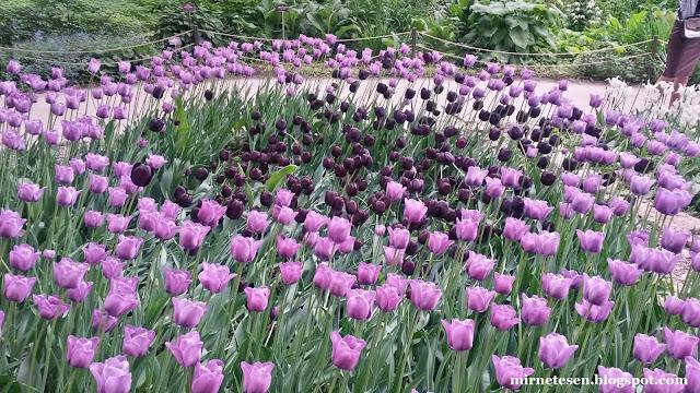 Аптекарский огород в Москве: тюльпаны