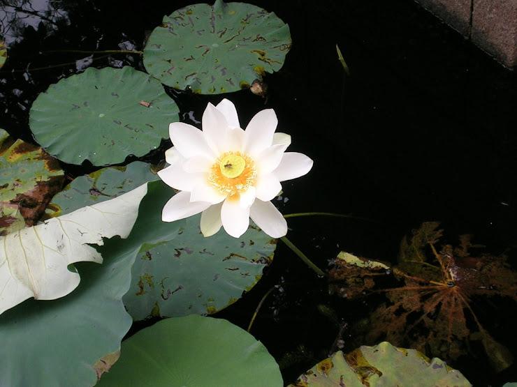 蓮池に咲く花3